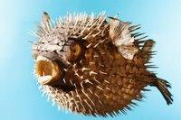 Pesce palla e il pericolo del suo veleno daniele pasticcere for Pesce palla immagini